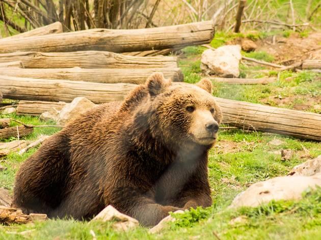 Brown bear in the verdant Lika region