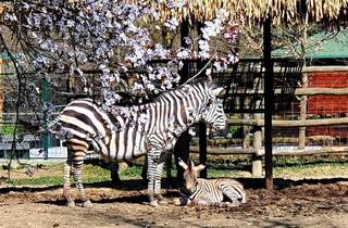 The Zagreb Zoo's newest member with its mother