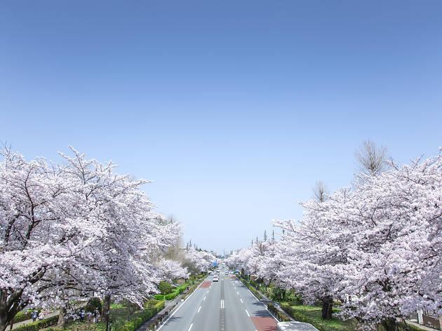 Kunitachi sakura cherry blossoms