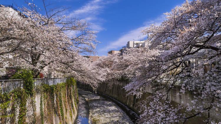 Kanda River sakura cherry blossoms