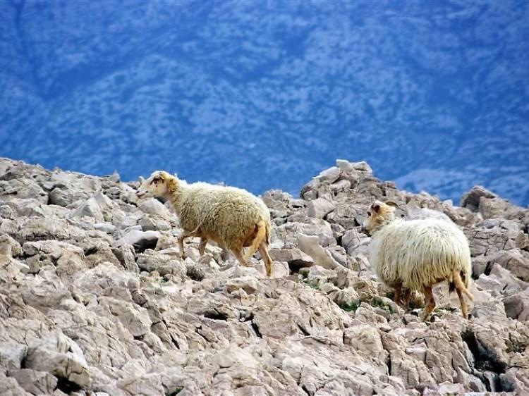 Pag lamb