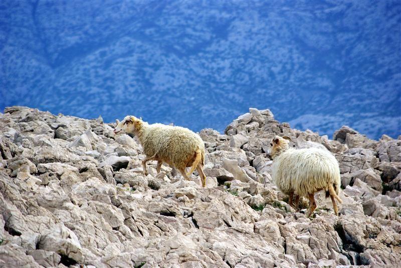 Pag lamb (Paška janjetina)