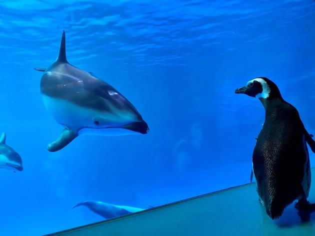 Adorable penguins explore a closed aquarium