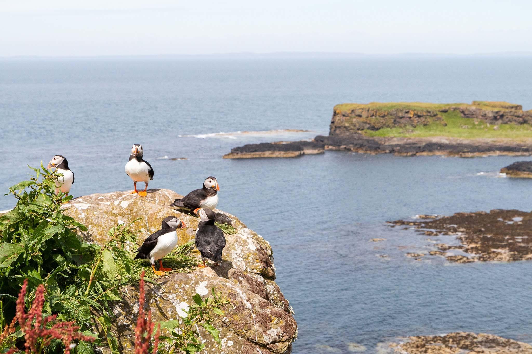 Puffins and cliffs on Lunga, Treshnish Isles, Scotland