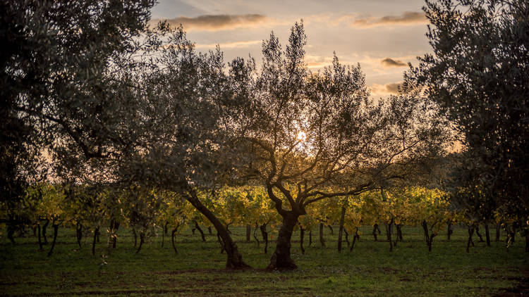 Try your hand at harvesting olives