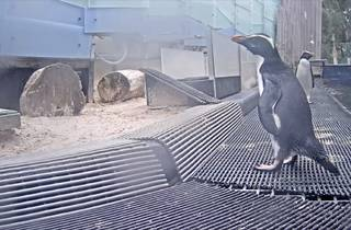 Penguin captured on livestream