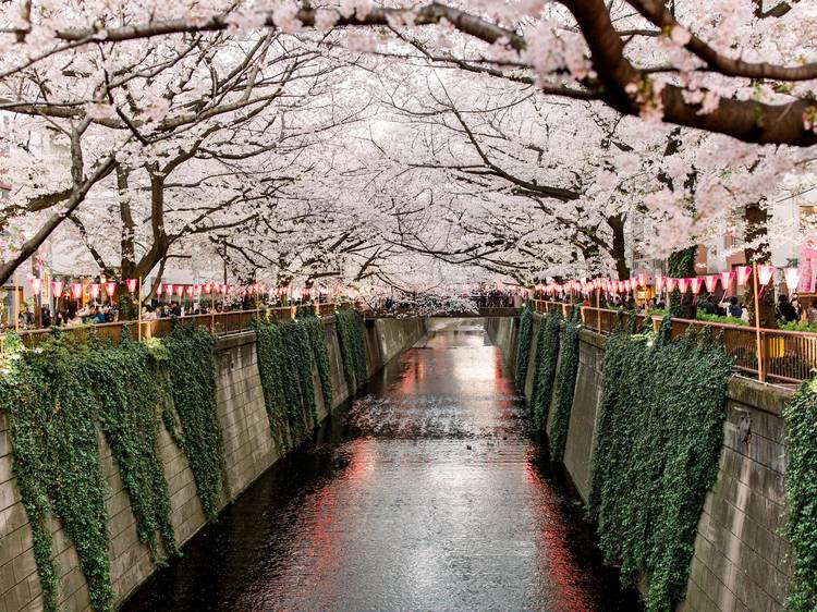 Check out these VR cherry blossom videos