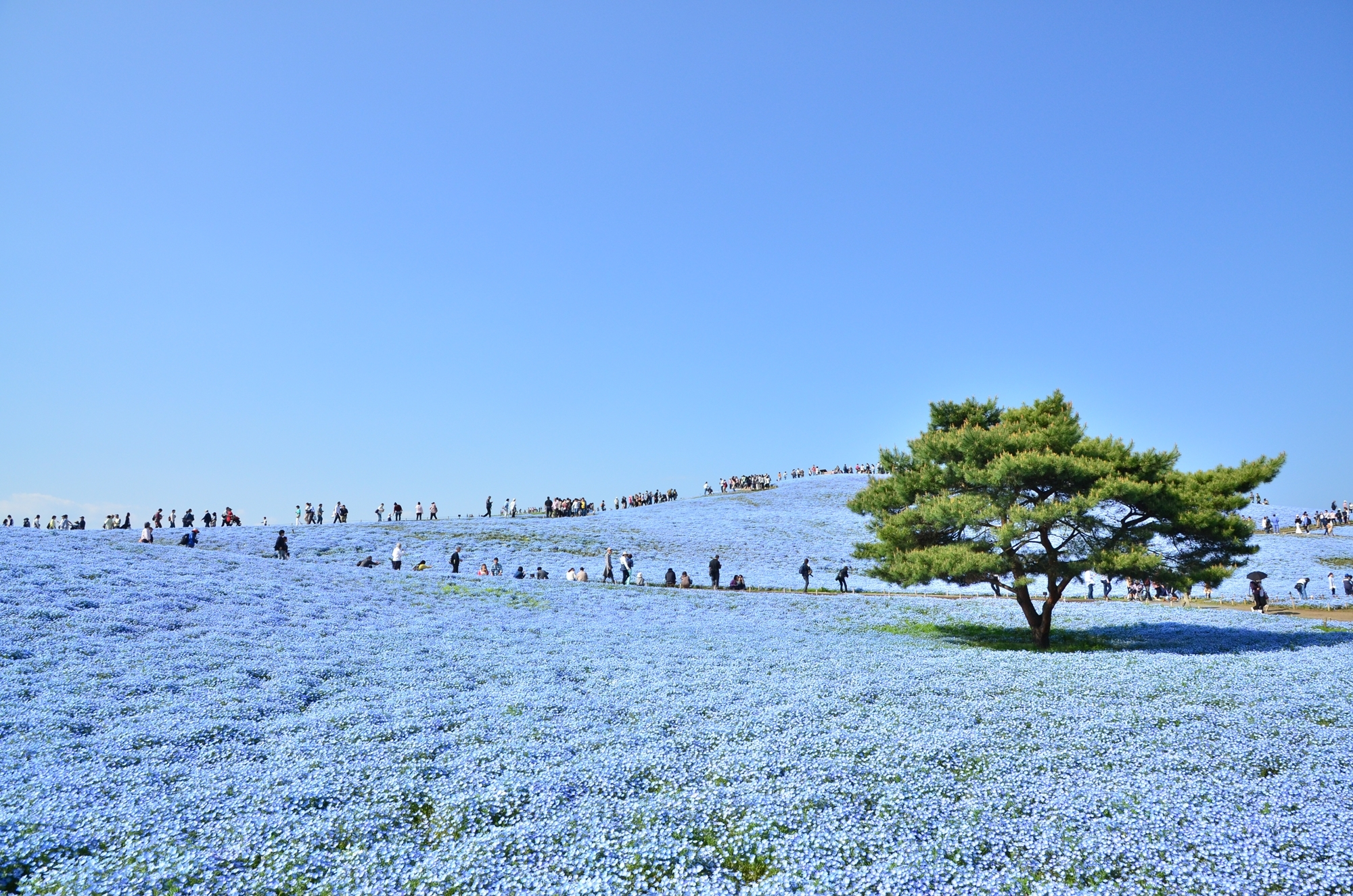 Nemophila Hitachi Seaside Park