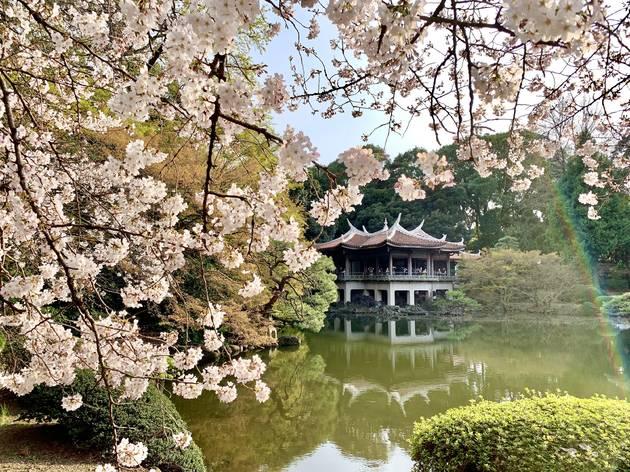 Cherry blossoms, sakura, Shinjuku Gyoen