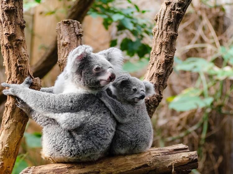 Bushfire-affected koalas were released back into the wild