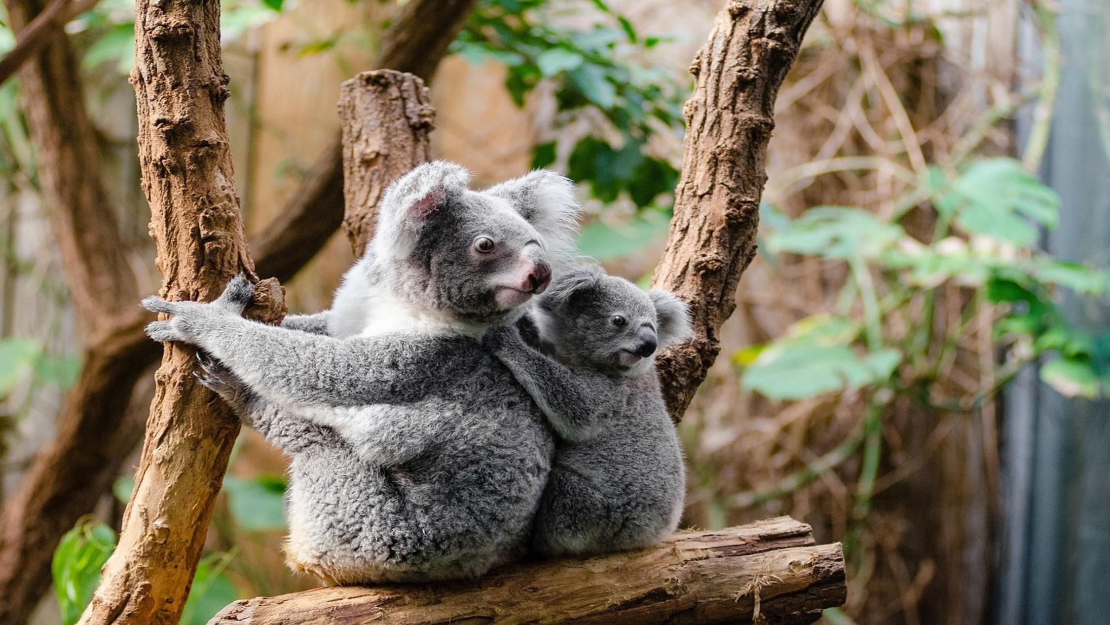 Koalas in a tree hugging