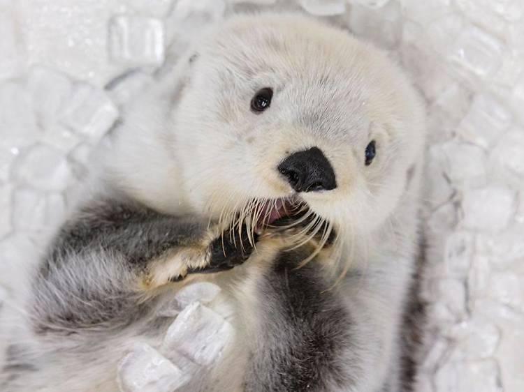Otters at The Shedd Aquarium, US