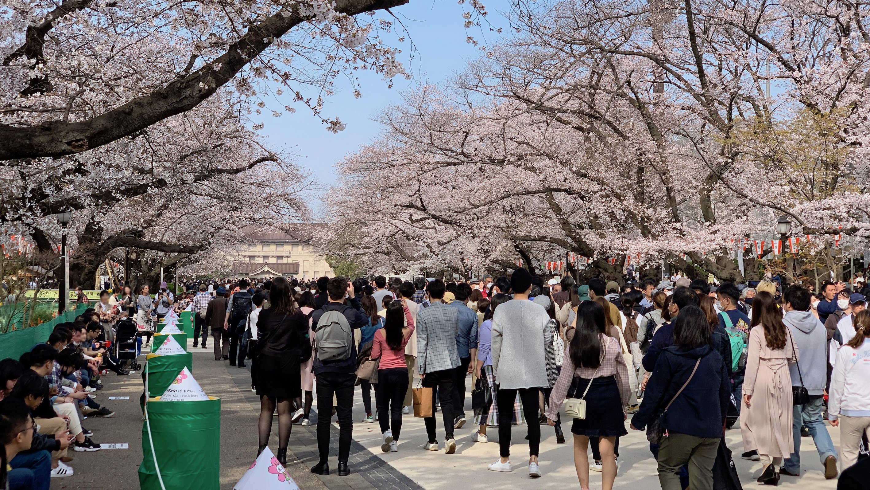 Cherry blossoms, Ueno Park, sakura