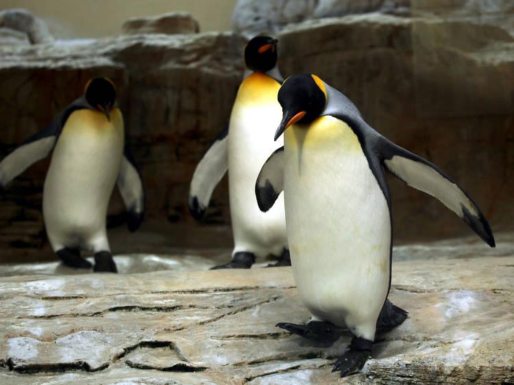 Penguins at Edinburgh Zoo, UK