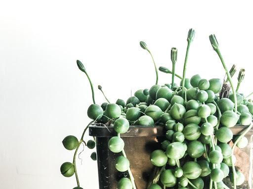 Planta cactus crasa
