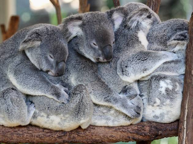 "Four koalas sitting on a branch in a ""cuddle train"""