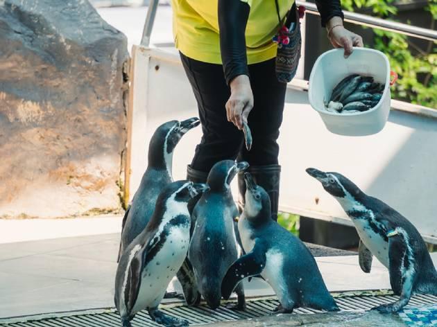 Penguin feeding time