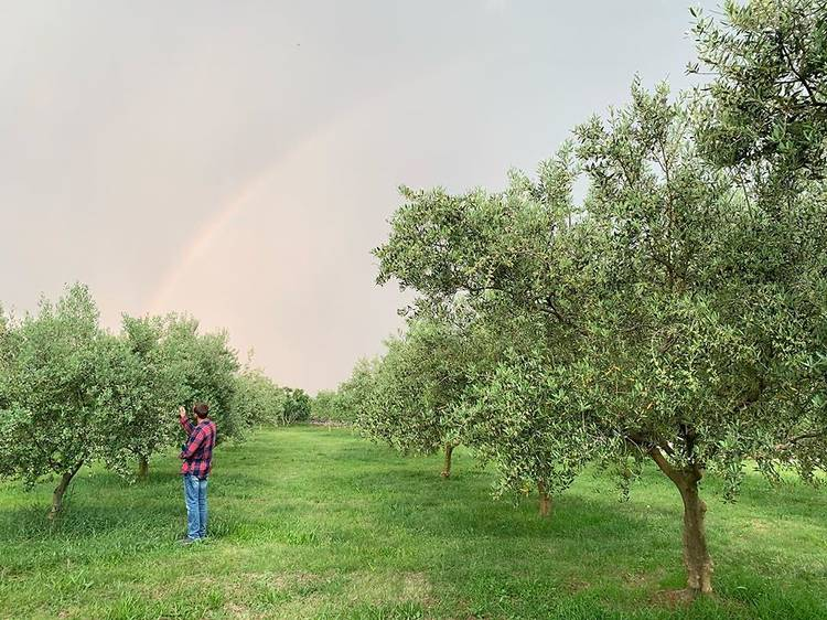 Croatia's best delicacies: Krk olive oil
