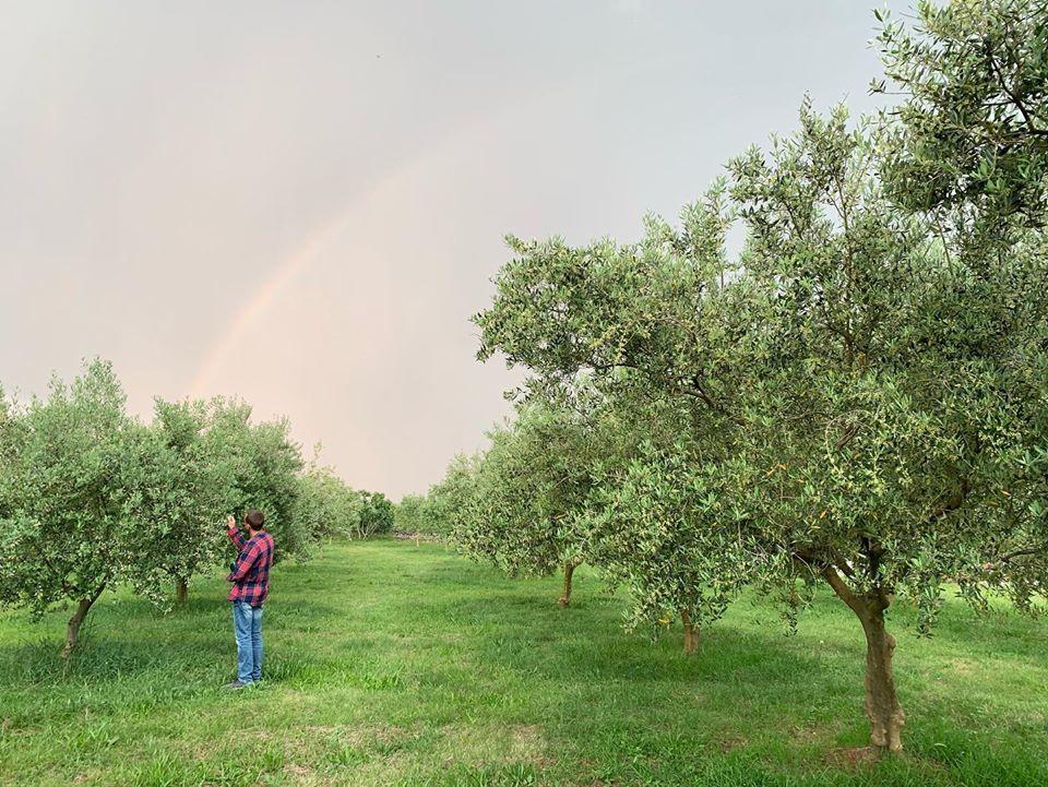 Krk olive