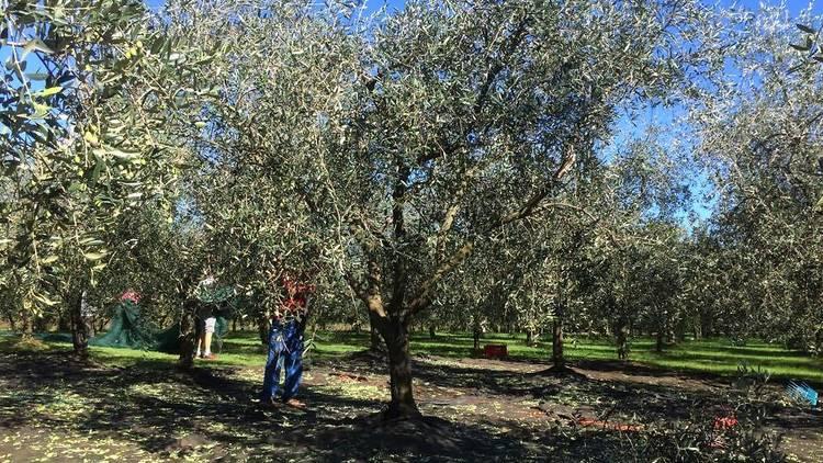 Istrian olives