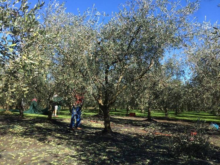 Istrian olive oil