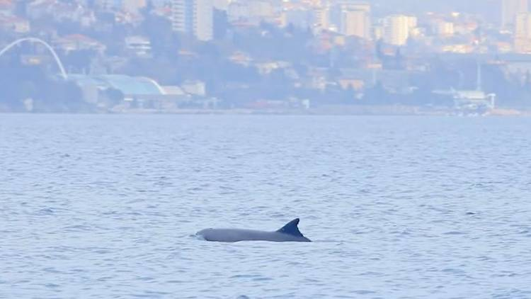 dolphin, kvarner, opatija