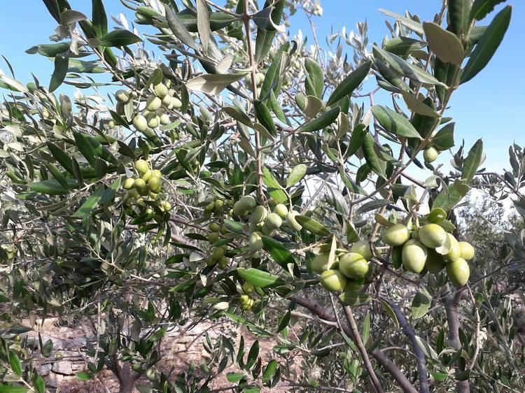 Šolta olive oil