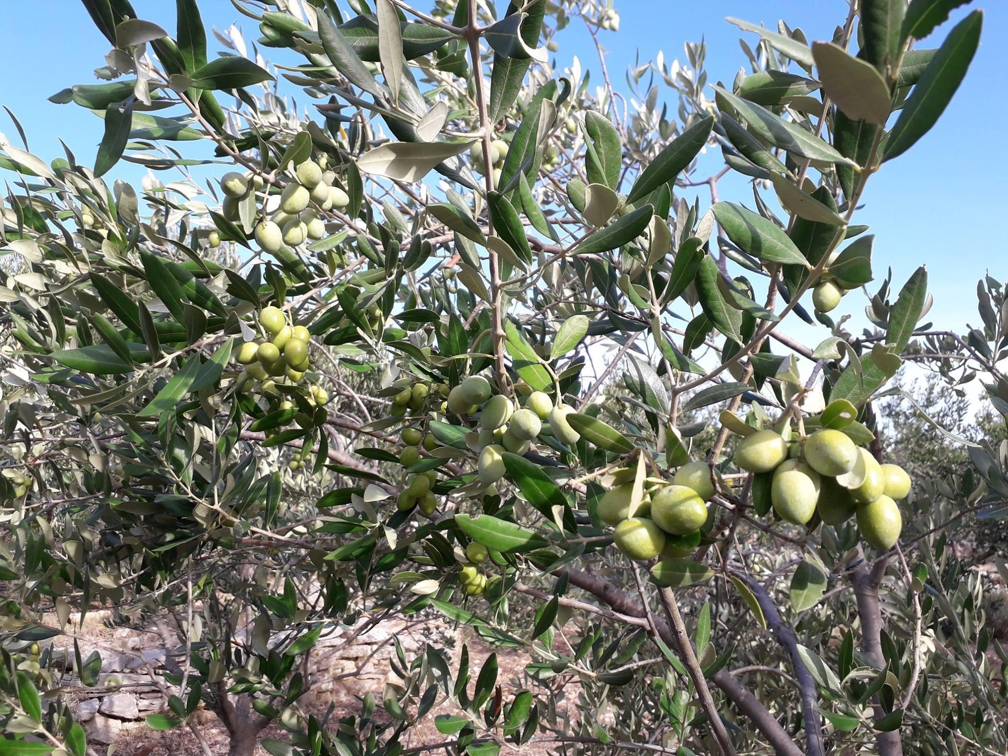 Šolta olive