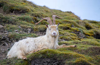 Wild goats in Wales