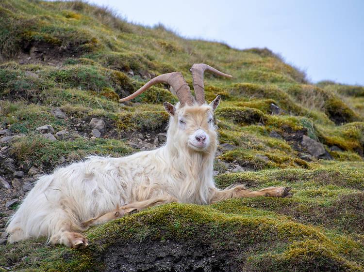 Cabras passeiam livremente por terra costeira no País de Gales