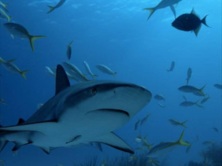 Patrulha Tubarão