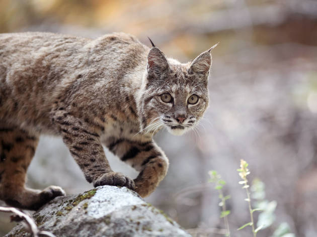 Elusive bobcats are freely roaming Yosemite right now