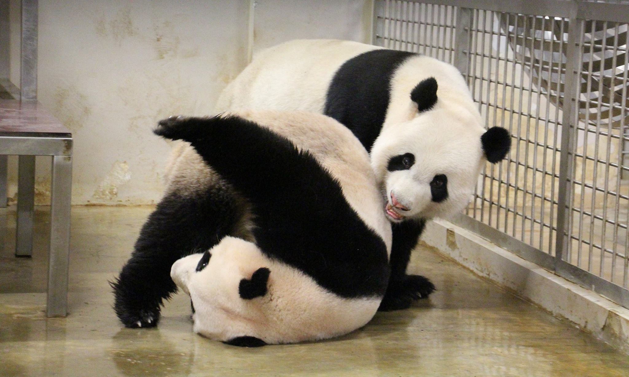 It's panda mating season at the River Safari