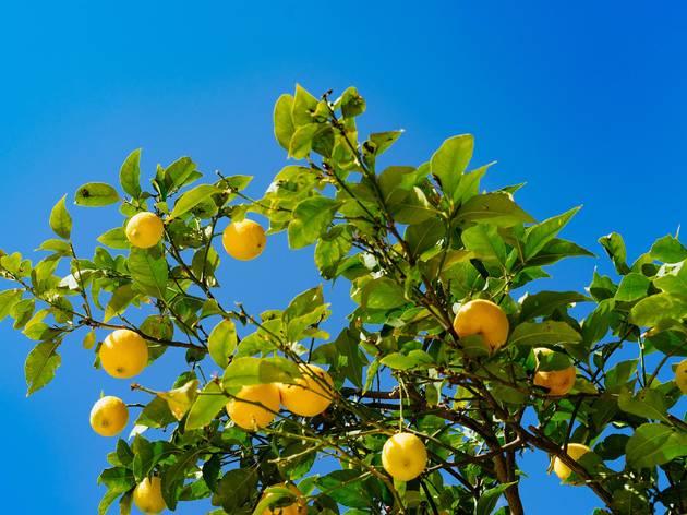 Lemon trees flourish in Croatia's southernmost regions