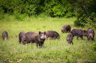 The Slavonia region's famous boar