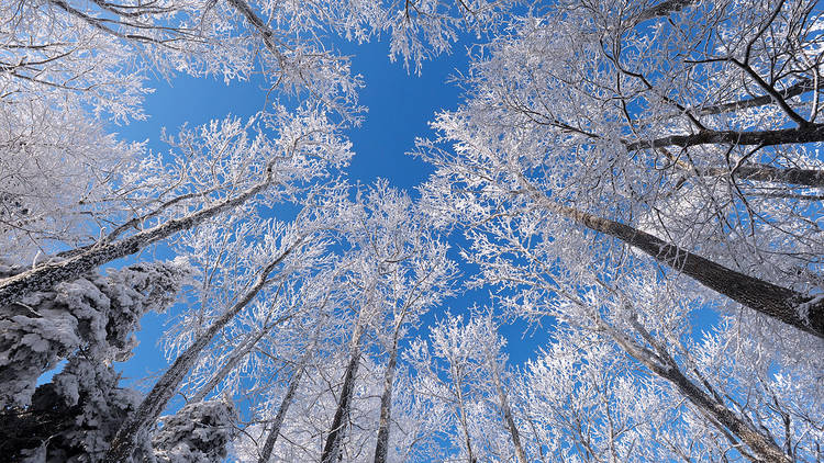 Snow-covered beech trees on Zagreb's Mount Medvednica