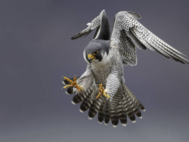 The peregrine falcon in action