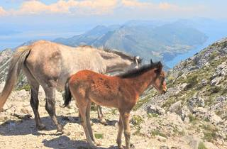 Two Dalmatian friends: a horse and donkey, historically used as pack animals in the region