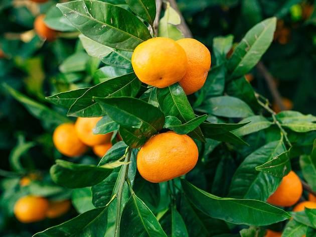 The Dubrovnik-Neretva region's delicious mandarines