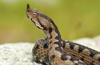 One of Croatia's only three venomous snakes: the horned viper