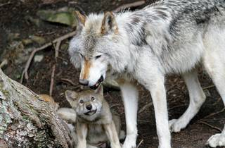 The endangered grey wolf, whose population is around 200 in Croatia