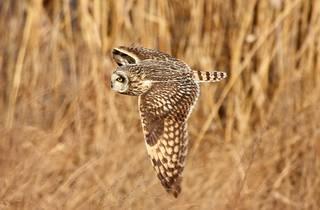 A soaring barn owl