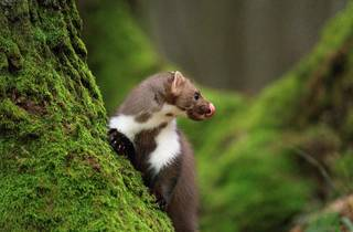 The short-tailed weasel (or 'kuna'), which, gave Croatian money its name