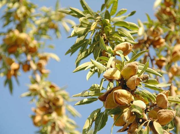 Almond trees, and their delicious fruit, are prevalent across Dalmatia