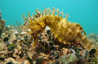 Seahorses swim the Adriatic sea