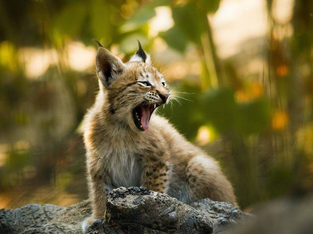 A cub of the endangered Eurasian lynx