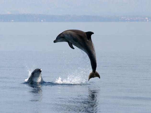 Dolphins playing along the Dalmatian coast