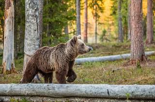 Croatia's brown bear population numbers around 2000