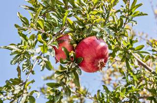 Pomegranate trees are characteristic to the Croatian coast