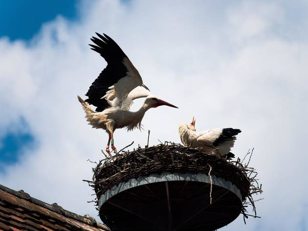 Storks are one of the many migratory bird species that vacation in Croatia